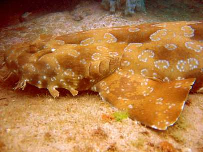 spotted_wobbegong